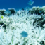 A coral, severely bleached to white