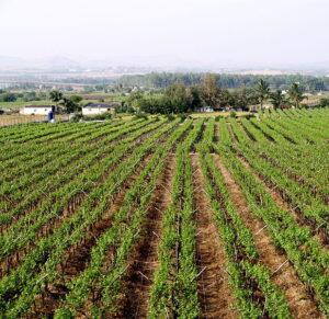 A grape vineyard in Nashik.