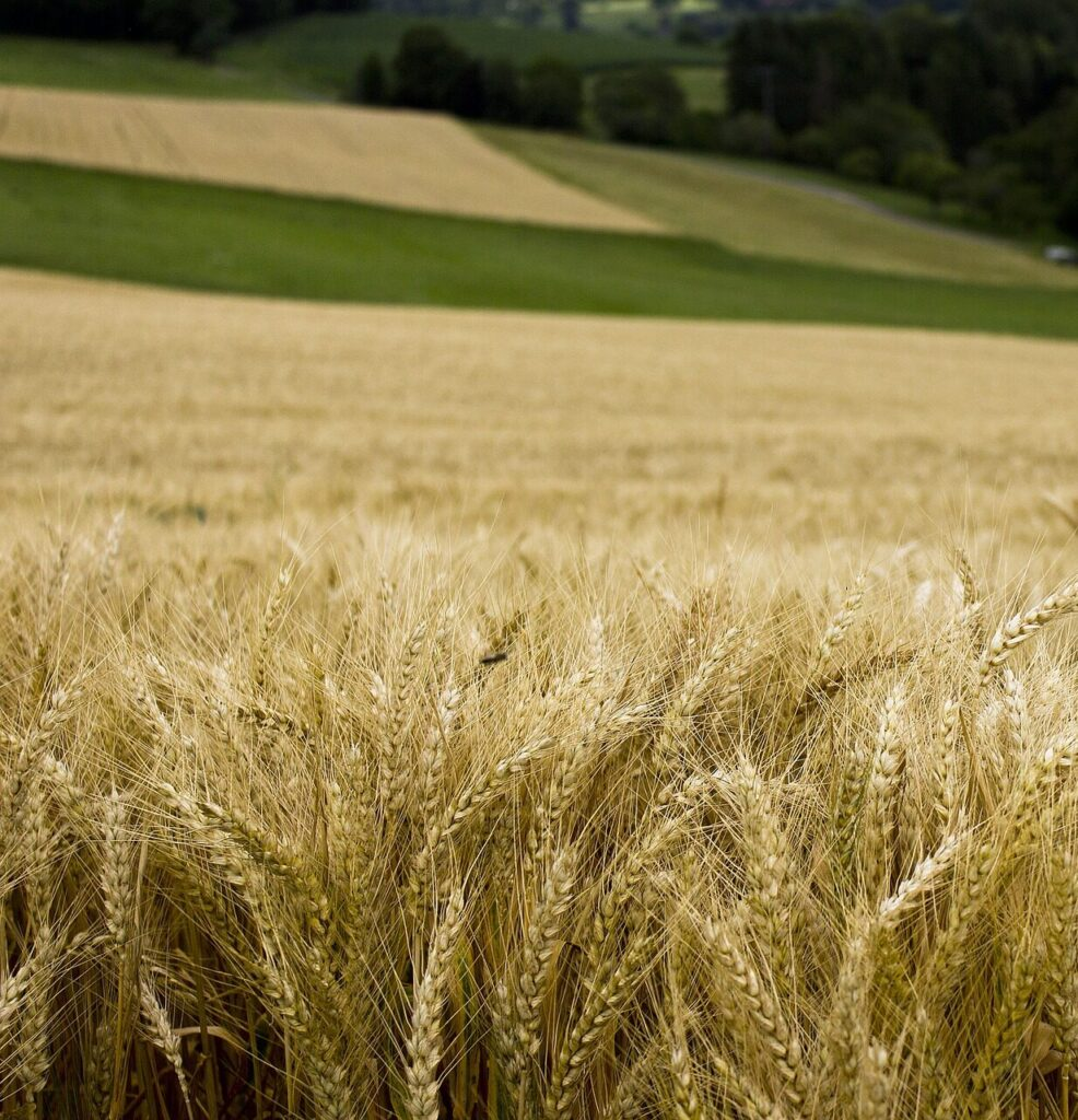 A wheat field on a Midwest farm
